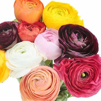 Assorted Colors Ranunculus Fresh Cut Flower