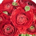 Fresh Ranunculus Hot Pink Flower