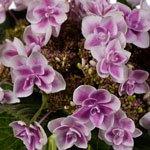 Raspberry Cream Hydrangea Wholesale Flower Up close