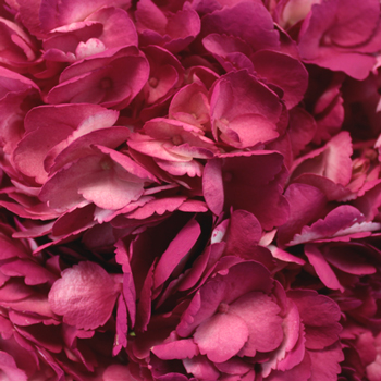 Raspberry Pink Airbrushed Hydrangea Flower Up Close