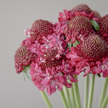 Raspberry Pink Scabiosa Flower