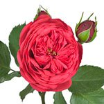 Raspberry Red Garden Rose Stem