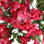 Red alstroemeria Wholesale Flower Upclose