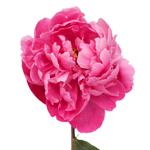 Red Bernhardt Hot Pink Peony Stem