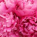 Red Bernhardt Hot Pink Peonies up close