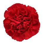 Red Carnation Bloom