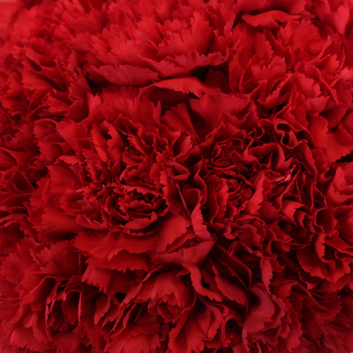 Red Wholesale Carnations Up close
