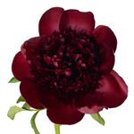 Red Charm Burgundy Peony Bloom View