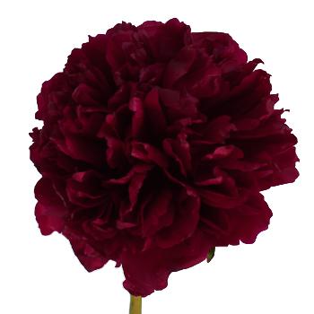 red-charm-burgundy-peonies-online-for-weddings