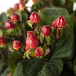 Red hypericum berry DIY wedding flower