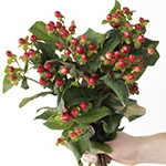 Red hypericum berry wholesale wedding flowers