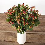 Red hypericum berry flowers for delivery