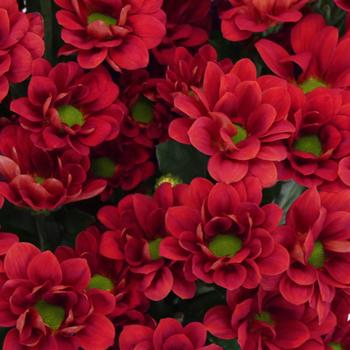 Fall Red Mini Daisy Flower