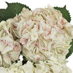 Red Sparkle and White Hydrangea Wholesale Flower Up close