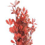 Ruscus - Buy Bulk FREE SHIPPING!
