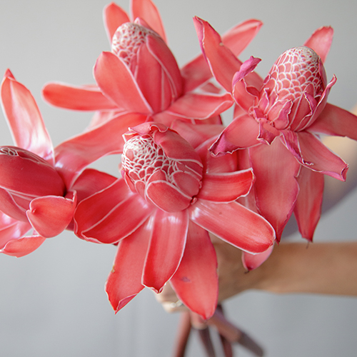 Salmon Red Torch Ginger Tropical Flowers