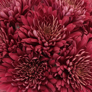 Fall Terracotta Chrysanthemum Flower