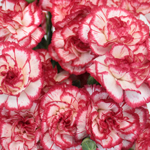 Red Twist Spray Wholesale Carnations Up close