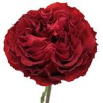 Red Velvet Garden Wholesale Rose Bunch in a hand