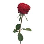 Red Velvet Garden Rose Stem