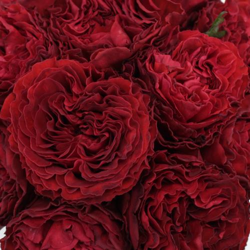 Red Velvet Garden Roses up close