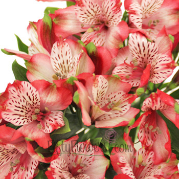 Red White alstroemeria Wholesale Flower Upclose