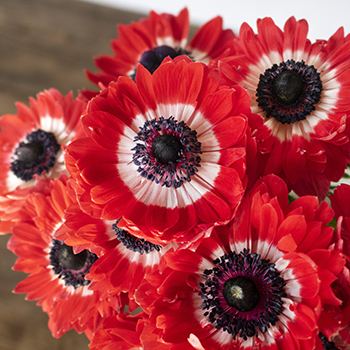 Flaming Red Star Anemones