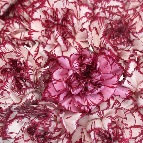 Rendezvous White and Purple Wholesale Carnations Up close