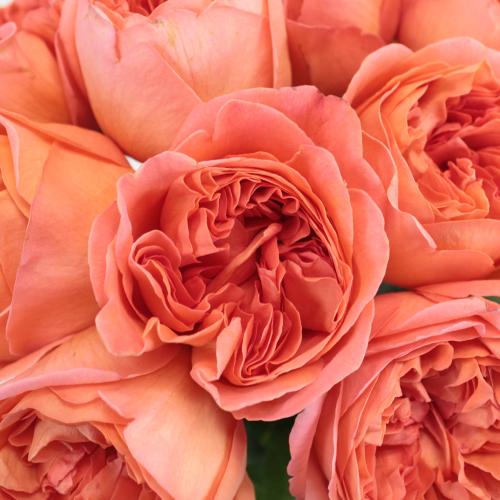 Garden Rose Rene Goscinny
