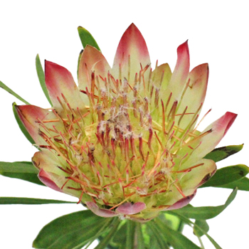 Pink Repens Protea Flower