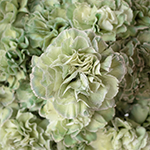 Revy Light Green Carnation Flowers Up Close