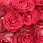 Riviera Hot Pink n Cream Bulk Roses Up Close
