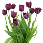 Ronaldo Purple Tulip Wholesale Flower In a vase