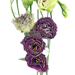 Lisianthus_Cut_Flower_Green