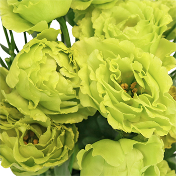 Vintage Green Frill Lisianthus Flower for June to September Delivery