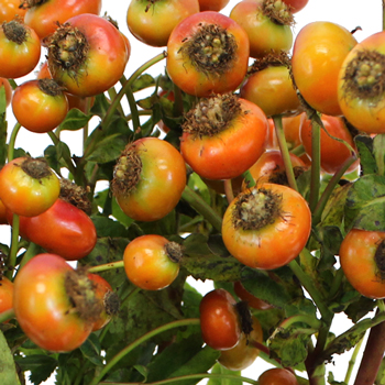 Fresh Cut Rose Hips for Flower Design