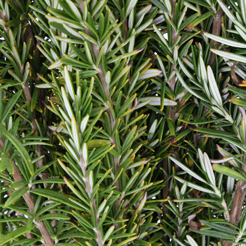 Fresh Cut Rosemary Herb Wholesale