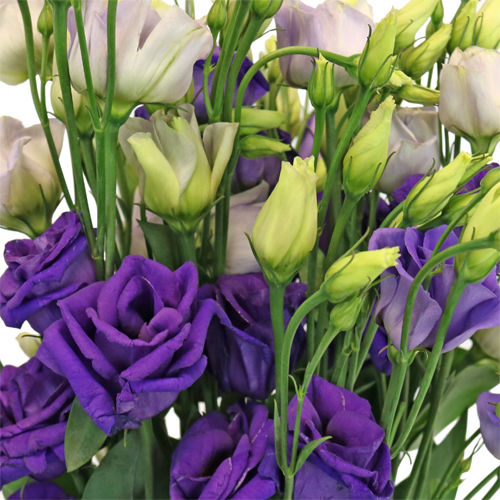 Hues of Purple Mini Lisianthus Flower for October to May Delivery