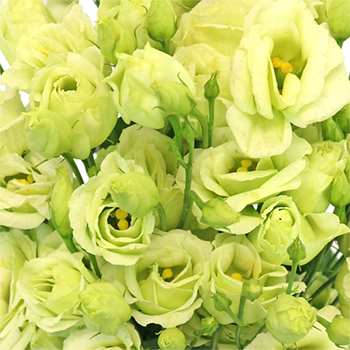 Green Mini Lisianthus Flower for June to September Delivery
