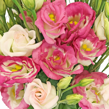 Pink Tipped Lisianthus Flower for October to May Delivery