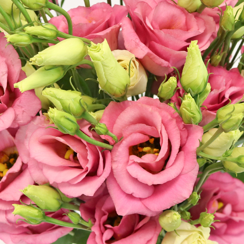 Hues of Pink Lisianthus Flower for October to May Delivery