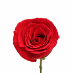 Rouge Baizer Red Rose Stem
