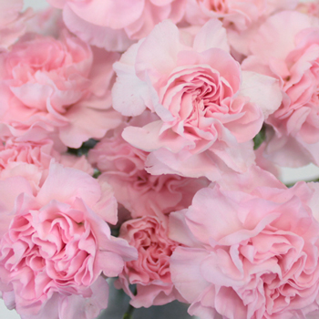 Ballet Pink Mini Carnation Flower