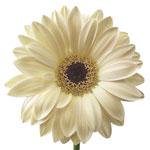 Gerbera Daisy Roy Royce Ivory Flower Up close