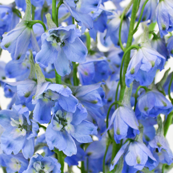 Royal Light Blue Delphinium Wholesale Flower Up close