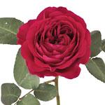 Rubine Red David Austin Rose Stem