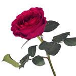 Rubine Red David Austin Rose Side Stem View