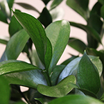 Fresh cut Israeli ruscus greenery filler flower sold near me