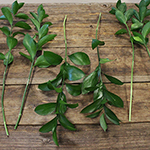 Bulk Israeli ruscus greenery sold as wholesale designed