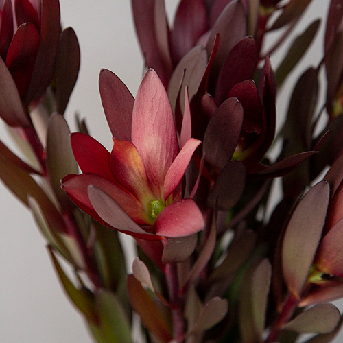 Safari Sunset Leucadendron